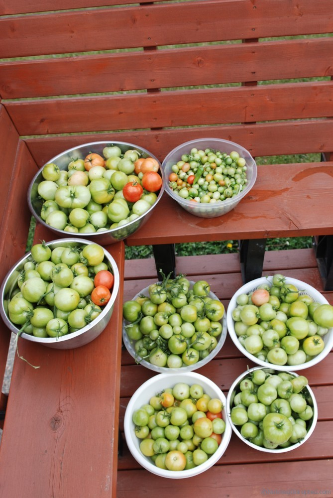 Tomatos from the Nutmeg DIsrupted gardens, Grande Prairie Alberta