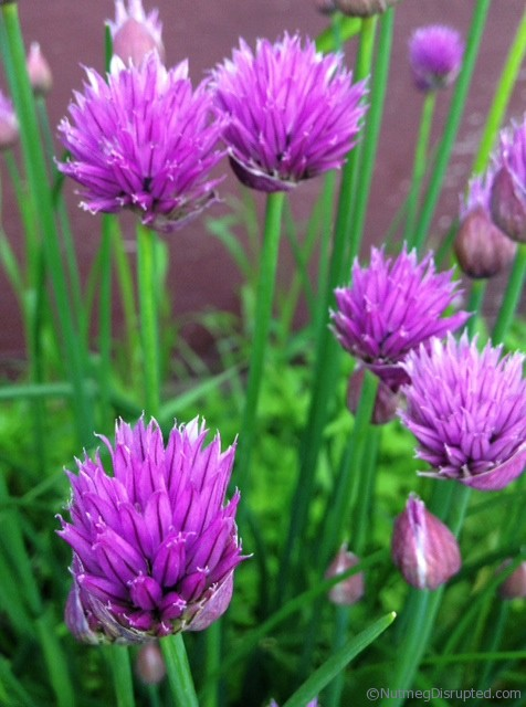 Growing chives in the Nutmeg Disrupted garden.