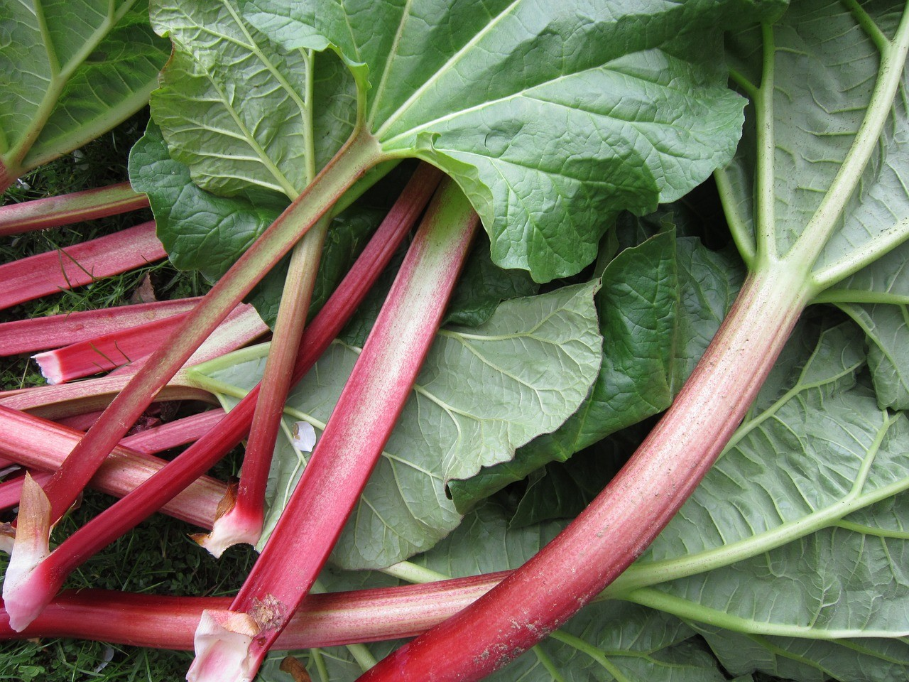 Grow Your Own FOod How To Grow Rhubarb on Nutmeg Disrupted