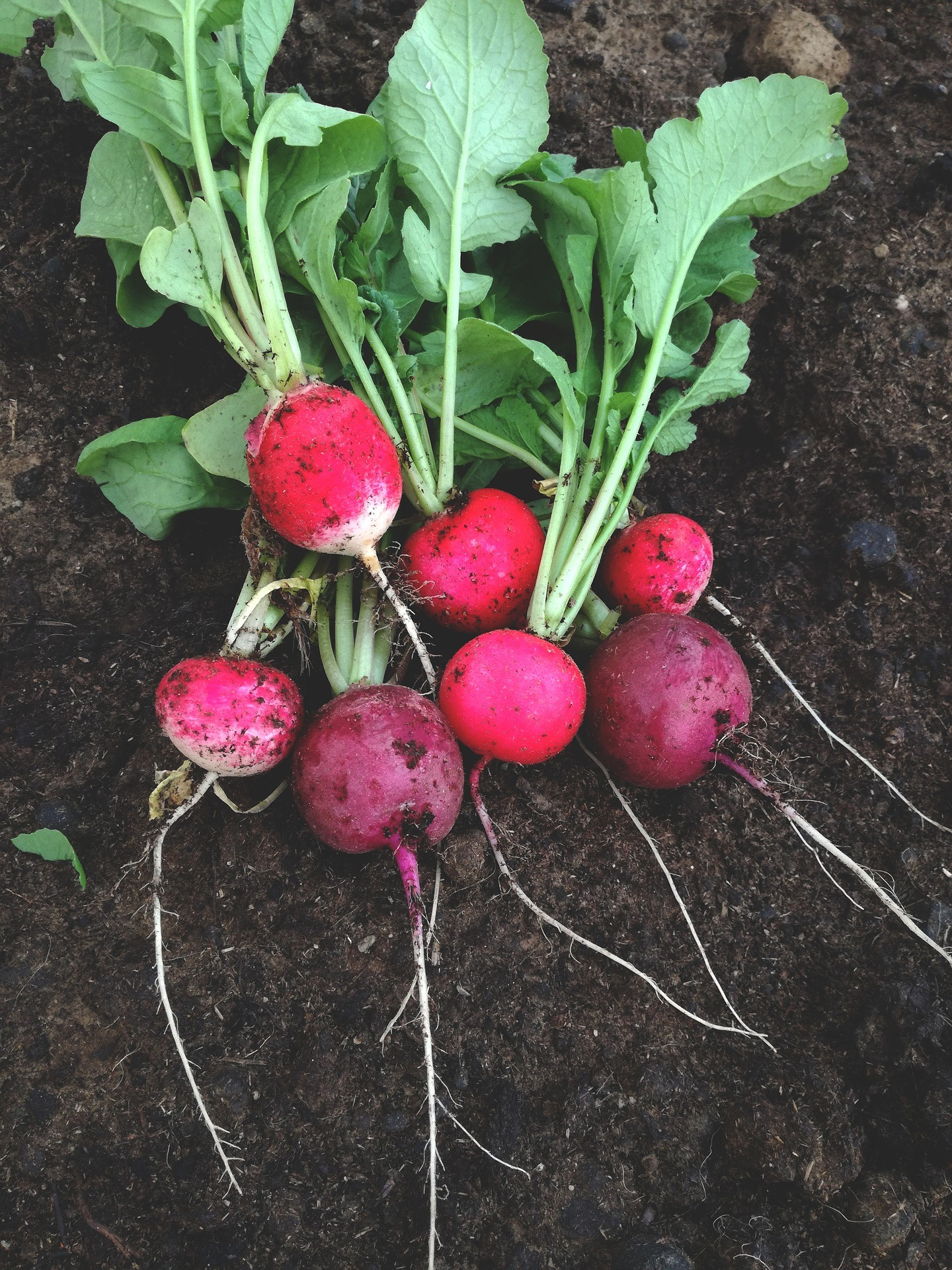 Growing Radishes with Nutmeg Disrupted Grow Your Own Good