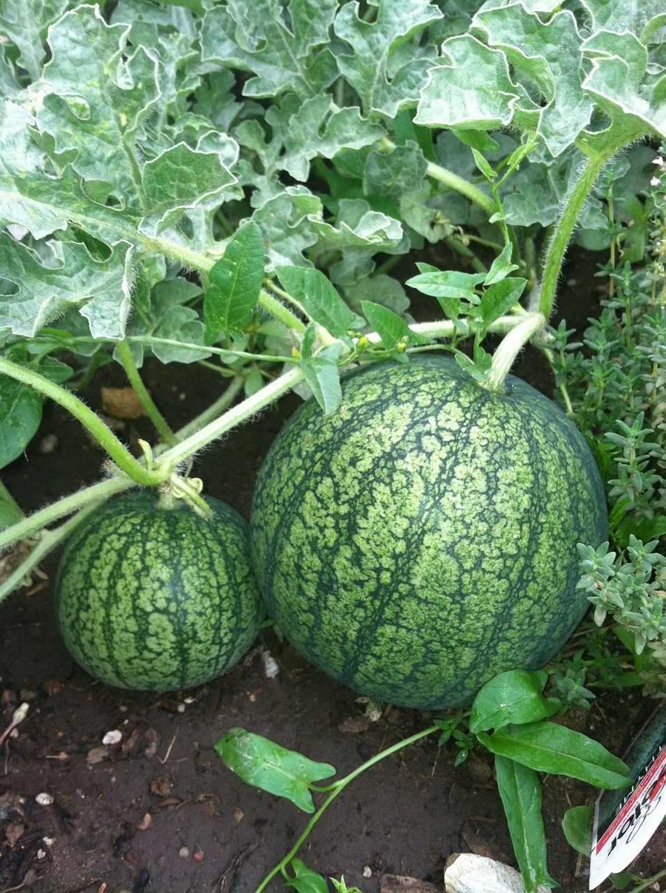 Grow Melons in your Canadian garden with Nutmeg Disrupted