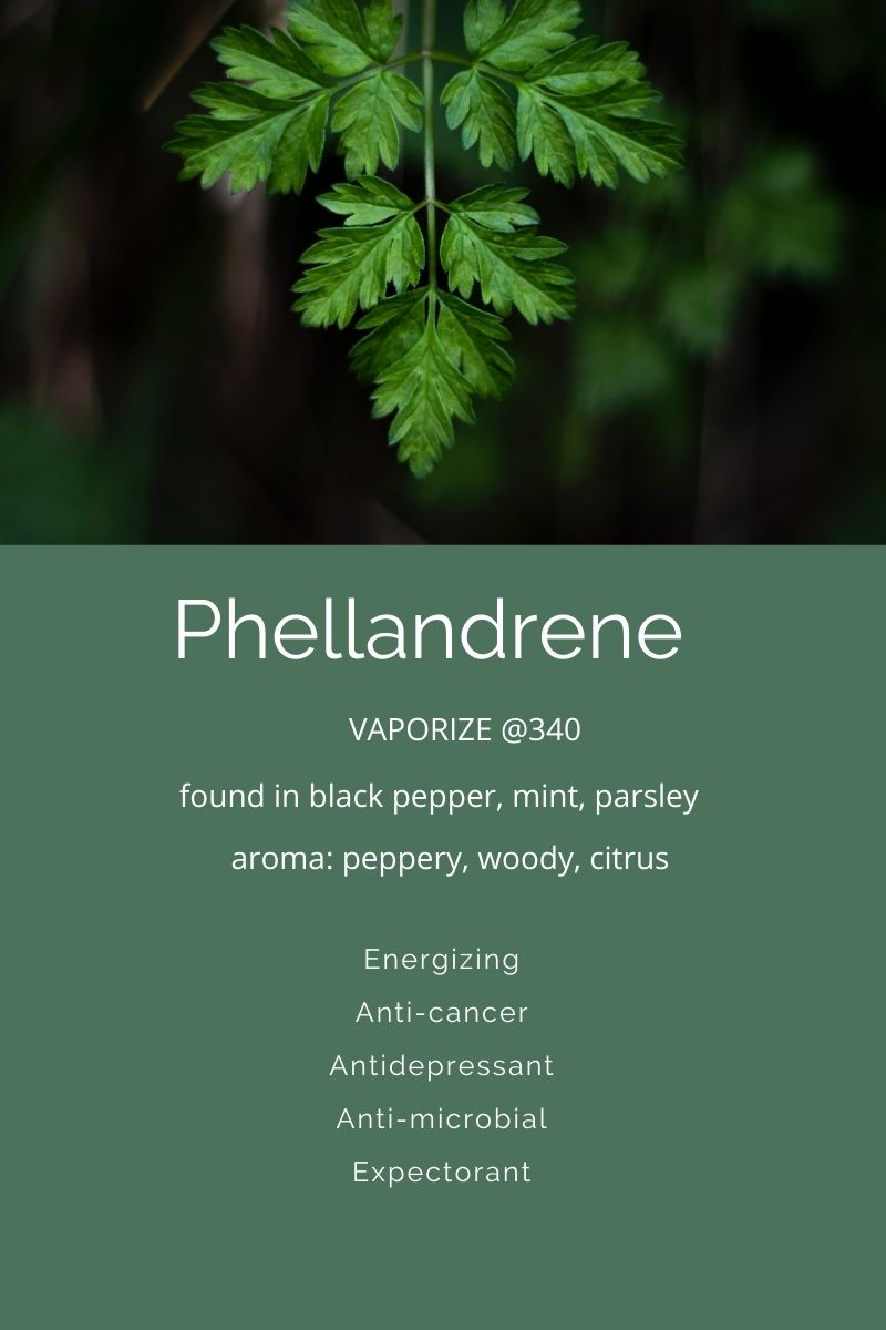 Phellandrene a terpene found in cannabis form Nutmeg Disrupted